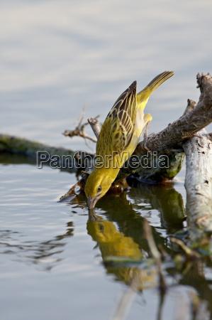 trinken trinkend trinkt weiblich tier vogel