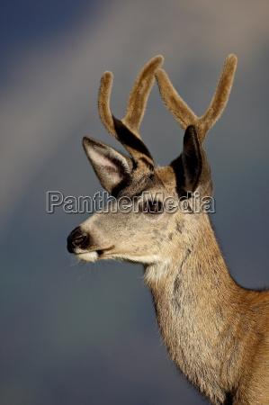 mule deer odocoileus hemionus buck in