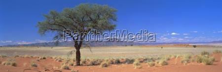 kameldornbaum in wuestenlandschaft namib rand namib