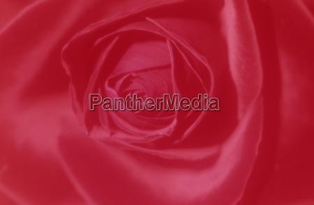 rose rosa bielefeld nrw deutschland