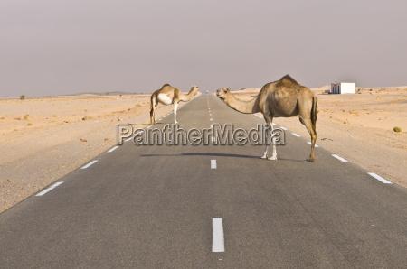 kamele stehen auf der strasse zwischen