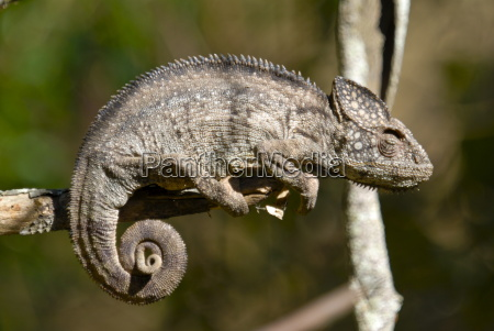 tier reptil afrika eidechse horizontal ast