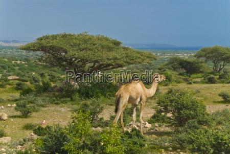 kamel am stadtrand von dschibuti republik