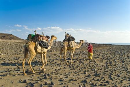 afar tribes mit kamelen auf ihrem