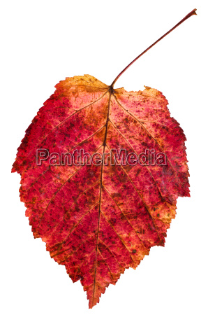 red autumn leaf of ash leaved
