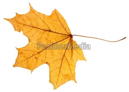 gelbes herbstblatt des ahornbaums isoliert