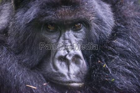 berggorilla gorilla beringei beringei virunga nationalpark