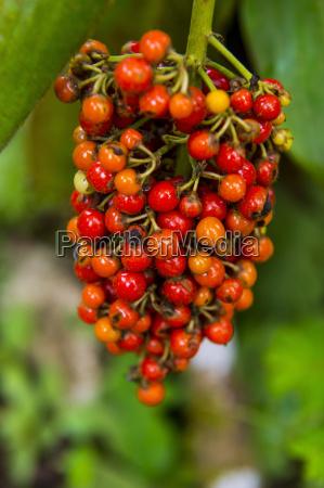 nahaufnahme von roten kaffeebeeren rubiaceae im