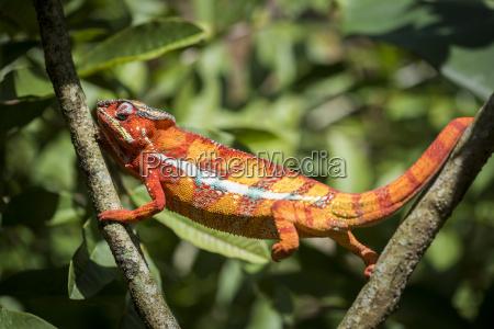 red pantherchamaeleon furcifer pardalis endemisch nach