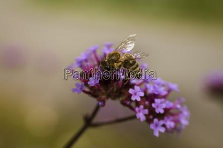 macroaufnahme von biene auf lila blume