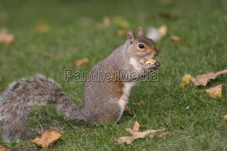 grey squirrel sciurus carolinensis biting into