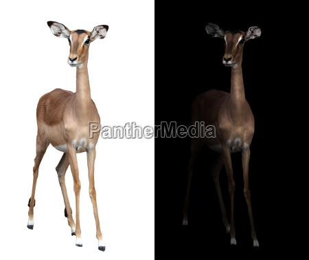 impala in the dark and impala