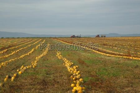 pumpkin field view