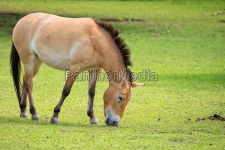 przewalskis pferd auf einer lichtung