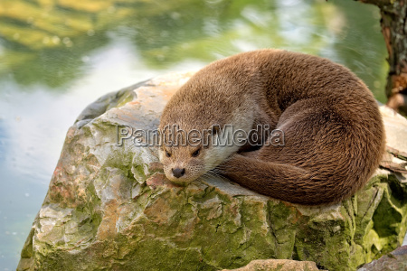 weasel resting in the wild