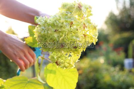 gardener cuts hydrangea flowers