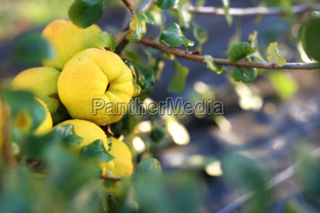 japanese quince fruit