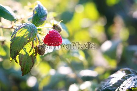 raspberries raspberry bushes