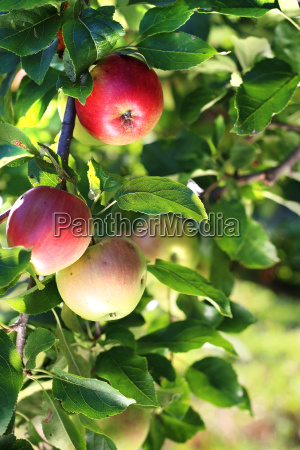 apple orchard organic growing of apples