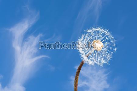 loewenzahn vor blauen himmel