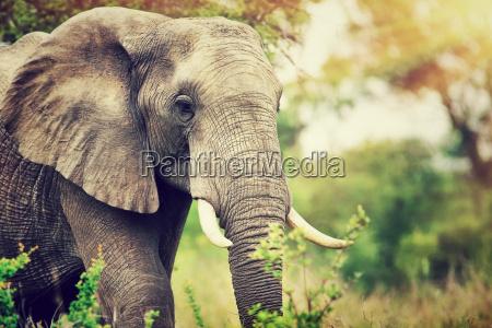 wildes elefantportraet