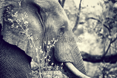 wildes elefantenportraet