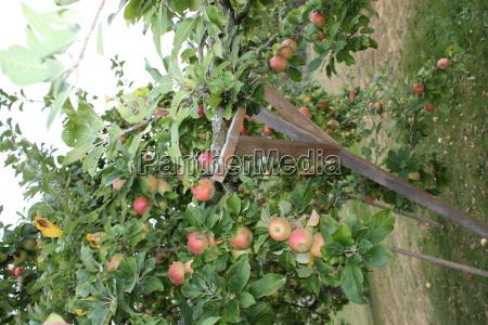 apfelbaum alkmene mit sehr vielen reifen