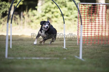 hund appenzeller berghund trainin hoopers