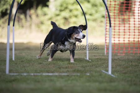hund appenzeller berghund trainings hooper