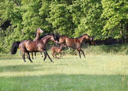 pferde spielen auf weide