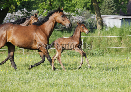 young foal with mares