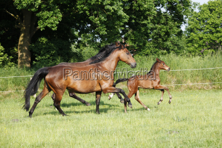 foal trotting with mares