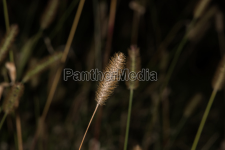 isolated barley grass on grass background