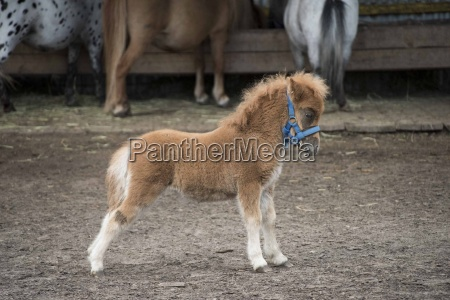 miniature horse in the farm