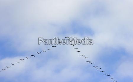 vogelzug formation himmel wolken