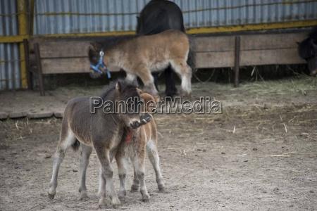 miniatur pferd auf dem bauernhof