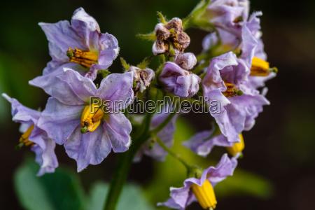 lila blueten von kartoffelpflanze