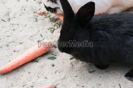 schwarzes kaninchen mit einer karotte