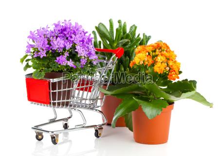 blue campanula in the shopping cart