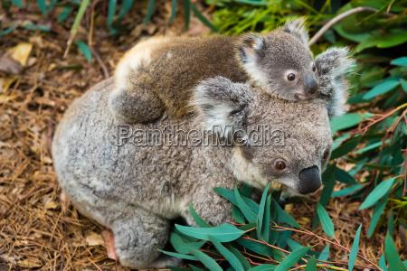 koala australian tragen einheimische tier mit