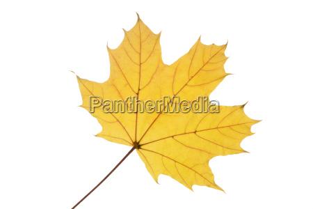 ahornblatt mit herbstfaerbung auf weissem hintergrund