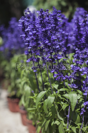 blue salvia at the flower market