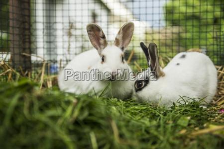 tier saeugetier landwirtschaft ackerbau haustiere kaninchen
