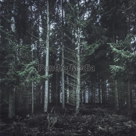 germany altenahr coniferous forest