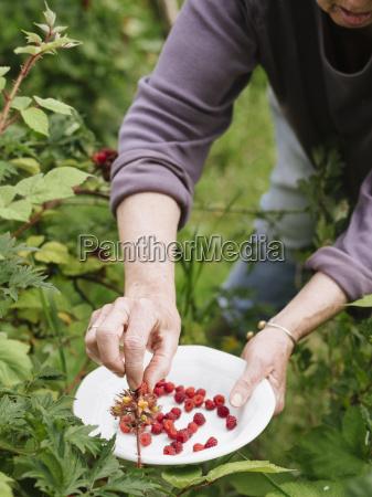senior woman harvesting japanese wineberries