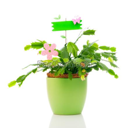 schlumbergera pflanze ist eine gattung von