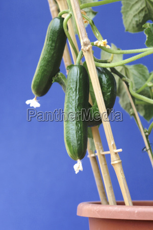 cucumbers growing on potted plant