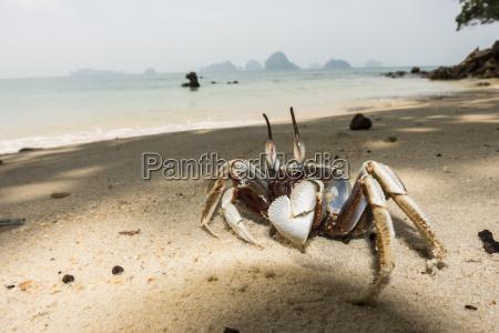 thailand tubkaek horn eyed ghost krabbe