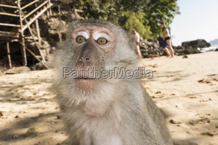 thailand ao nang portraet von makaken