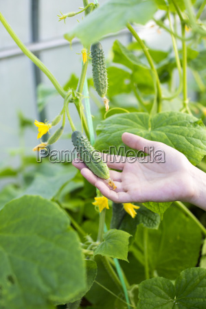 womans hand holding cucumber